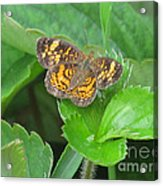 Pearl Crescent Butterfly Acrylic Print by Randi Shenkman