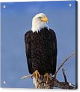 Perched Bald Eagle Acrylic Print by Natural Selection David Ponton