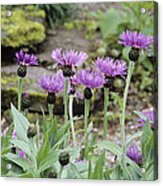 Perennial Cornflowers 'parham' Acrylic Print by Archie Young