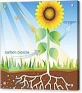 Photosynthesis, Illustration Acrylic Print by David Nicholls