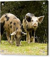 Piglets Foraging In Woodland Acrylic Print by Bob Gibbons