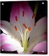 Pink And White Lily Acrylic Print by David Patterson