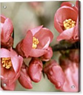 Pink Blossom Acrylic Print by Y. Deshayes - Photography