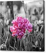 Pink Carnation Acrylic Print by Sumit Mehndiratta