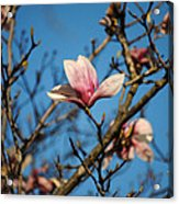 Pink Magnolia Flower Acrylic Print by Jai Johnson
