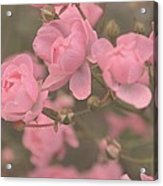 Pink Roses Acrylic Print by Paula Sharlea
