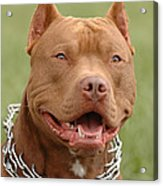 Pitbull Red Nose Dog Portrait Acrylic Print by Waldek Dabrowski