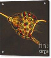 Podocyrtis Triacantha Lm Acrylic Print by Eric V Grave