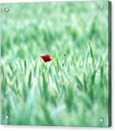 Poppy In Wheat Field Acrylic Print by By Julie Mcinnes