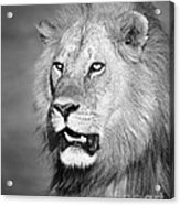 Portrait Of A Lion Acrylic Print by Richard Garvey-Williams