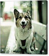Portrait Of Dog Acrylic Print by Moaan
