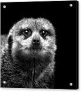 Portrait Of Meerkat Acrylic Print by Malcolm MacGregor