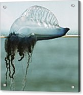 Portuguese Man-of-war Acrylic Print by Peter Scoones