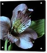 Pouvian Lilly On Black Acrylic Print by M K  Miller