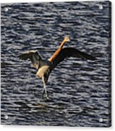 Prancing Heron Acrylic Print by David Lee Thompson