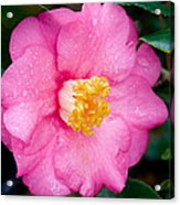 Pretty In Pink 2 Acrylic Print by Rich Franco
