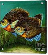 Pretty Little Panfish Acrylic Print by Kathleen Kelly Thompson