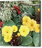 Primroses Acrylic Print by Archie Young