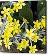 Primula Verticillata Flowers Acrylic Print by Bob Gibbons