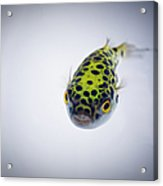 Puffer Fish Acrylic Print by Rich Johnson of Spectacle Photo