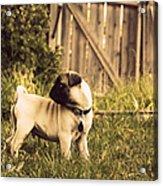 Pug Pose Acrylic Print by Taryn