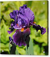 Purple And Orange Iris Flower Acrylic Print by Jai Johnson
