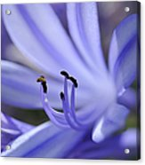 Purple Flower Close-up Acrylic Print by Sami Sarkis