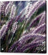 Purple Ornamental Fall Grass Acrylic Print by Marjorie Imbeau