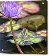 Purple Water Lilly Acrylic Print by Lauri Novak