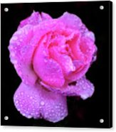 Queen Elizabeth Rose After Heavy Rainfall Acrylic Print by DSW Creative Photography