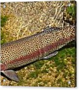 Rainbow Trout Acrylic Print by Nick Kloepping