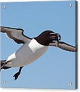 Razorbill In Flight Acrylic Print by Bruce J Robinson