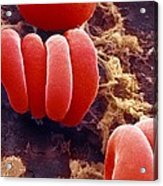 Red Blood Cells, Sem Acrylic Print by Ami Images