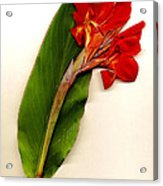Red Canna Acrylic Print by JDon Cook