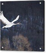 Red Crowned Crane Acrylic Print by Alexandre Shimoishi