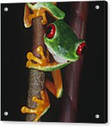 Red-eyed Tree Frog Agalychnis Callidryas Acrylic Print by Gregory G. Dimijian, M.D.