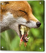 Red Fox Eating A Chick Acrylic Print by Duncan Shaw