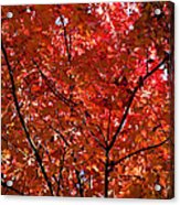 Red Leaves Black Branches Acrylic Print by Rich Franco