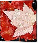 Red Maple Leaves Acrylic Print by Mike Grandmailson