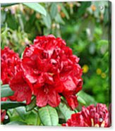 Red Rhododendron Floral Art Prints Rhodies Acrylic Print by Baslee Troutman
