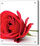 Red Rose Acrylic Print by Andrew Dernie