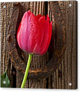 Red Tulip And Horseshoe  Acrylic Print by Garry Gay