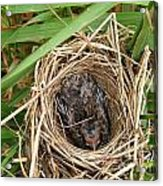 Red-winged Blackbird Baby In Nest Acrylic Print by J McCombie
