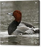Redhead Duck Flapping Its Wings Acrylic Print by Inspired Nature Photography Fine Art Photography