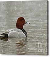 Redhead Duck In Winter Snow Storm Acrylic Print by Inspired Nature Photography Fine Art Photography