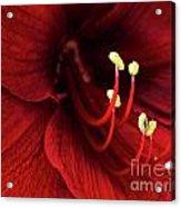 Ref Lily Acrylic Print by Carlos Caetano
