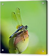 Resting On A Lily Acrylic Print by Lisa  Spencer