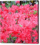 Rhodies Art Prints Pink Rhododendrons Floral Acrylic Print by Baslee Troutman