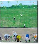 Rice Field Haiti 1980 Acrylic Print by Nicole Jean-Louis