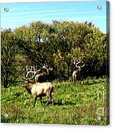 Roaming Elk  Acrylic Print by The Kepharts